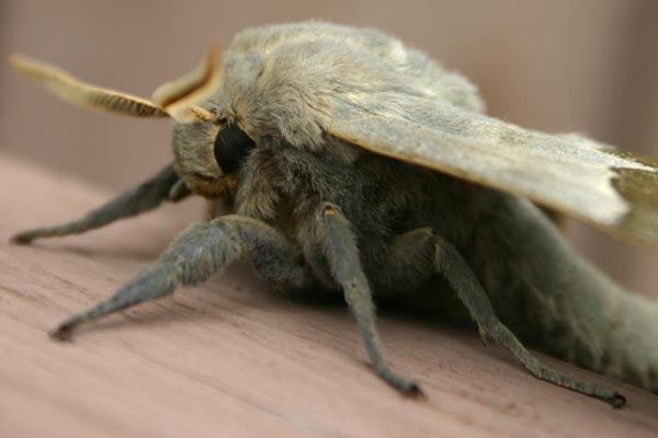 Photo of Big furry moth: closeup