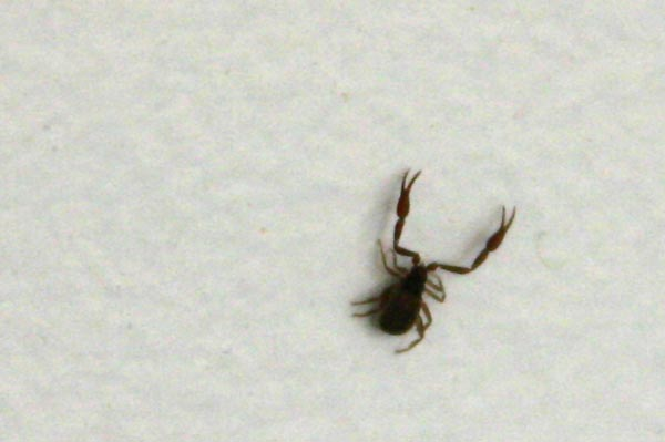 Photo of There's a <strike>bug<strike> pseudoscorpion on my wall!
