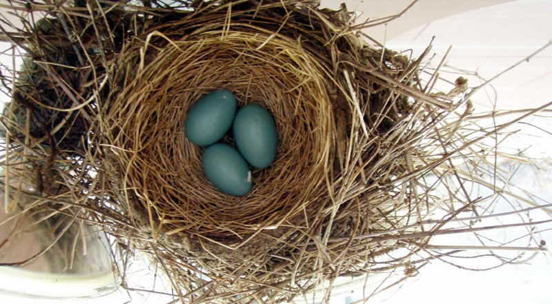 Photo of They really *are* robin's egg blue